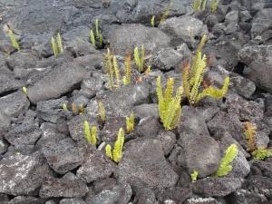 溶岩大地のシダ