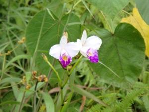 パナエヴァの森に咲くワイルドオーキッド