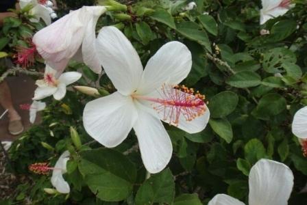 ハワイの植物 2: コキオケオケオ