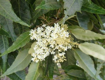 ククイの花20141030