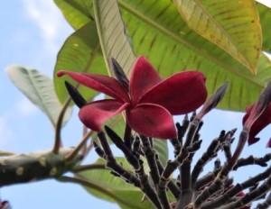 プルメリア赤紫1