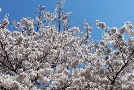 桜が満開です☆彡