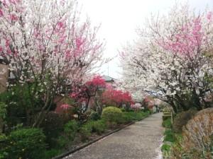 春桜いろいろ