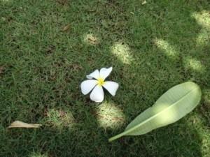 プルメリア白+葉