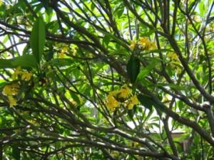 プルメリア黄