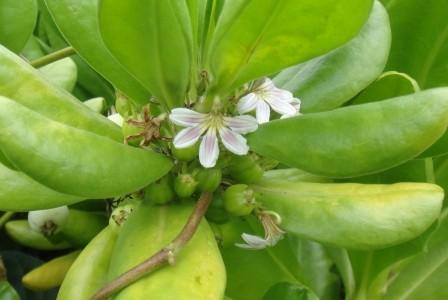 ハワイの植物 11: ナウパカ