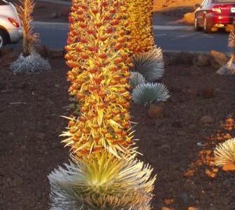 ハワイの植物 15: 銀剣草