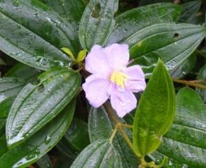ワイルドアザレア花