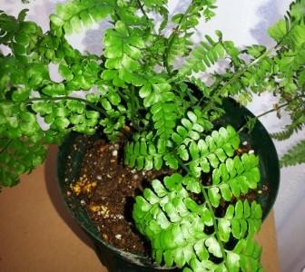 ハワイの植物 23: パラパライ