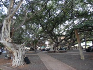 バニヤンツリー1