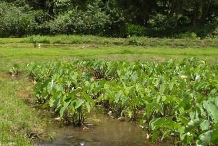 ハワイの植物 25: タロ