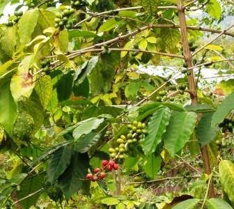 ハワイの植物 26: コーヒーノキ