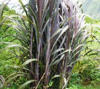 ハワイの植物 27: サトウキビ