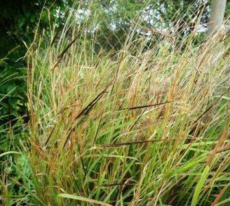 ハワイの植物 29:  ピリ