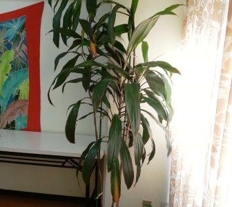 大人女性のためのハーブ栽培:植物の冬越しに備えよう & ティの鉢植えは室内へ☆彡