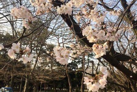 桜咲きました & 来週、蔦谷湘南T-SITE「アロマスプレー作り」のワークショップ☆彡