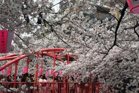 目黒川の桜 & ストレスにお勧め精油「ベルガモット」
