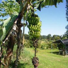 ALOHAの秘密86「自分のストレスを計るメジャーを知る」 & HRNフラワーエッセンス「バナナ」