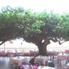 ハワイの植物 31: ハウの木