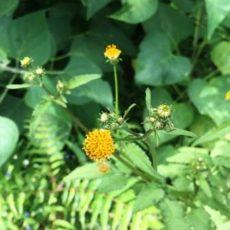 そろそろ「キネヘ」のお花が咲くころです & アドバンス・コースを受講のみなさんへ☆彡