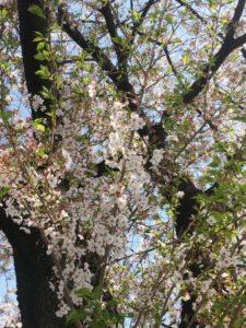 2018桜1 - コピー