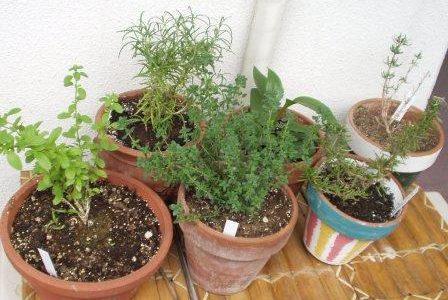 大人女性の庭仕事:そろそろハーブの種まきを☆彡 & 植物にホメオパシー&フラワーエッセンス。