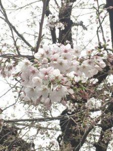 桜代々木 - コピー