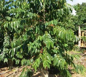 ハワイの諺 23: 'Olelo No'eau  & 少しだけコーヒー農園のお話☆彡