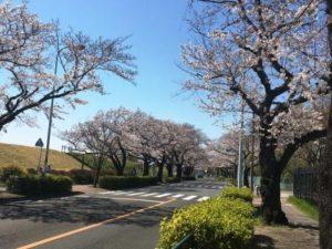 多摩川桜並木 - コピー