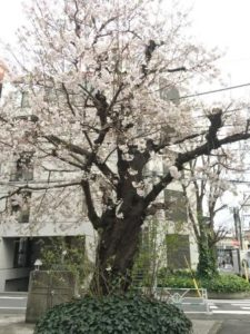 教会の桜 - コピー