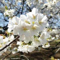 桜を眺めてきました & 本日LINE@配信しました☆彡