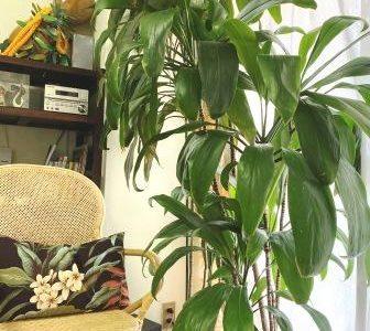 アンティー・モコのひとり言: 昨日の双子座新月と、6月&7月の蟹座新月  &  今期最後「ティ栽培講座」平日に行います☆彡