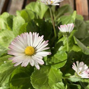 ベリスペレニスのお花が次々と咲いています & 『フラレア 83号』の「神話と歴史で巡るハワイの聖地」記事がお陰様で人気です☆彡